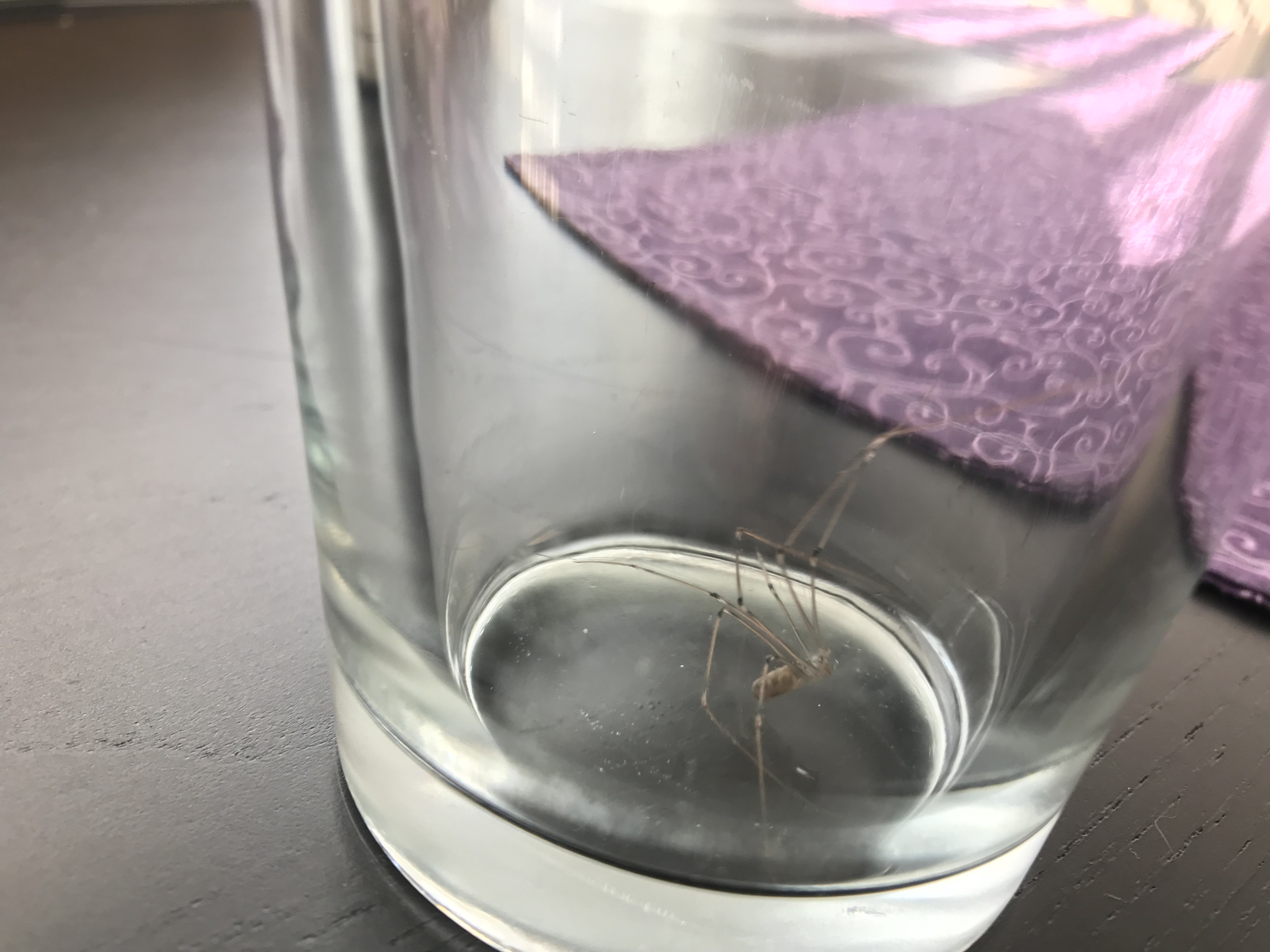 A spider with notched long legs in a glass.